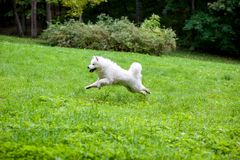 Happy Samoyed Dog Running on the grass.  Royalty Free Stock Images