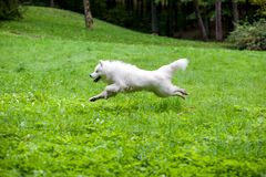 Happy Samoyed Dog Running on the grass.  Royalty Free Stock Photography