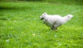 Happy Samoyed Dog Running on the grass.  Stock Image