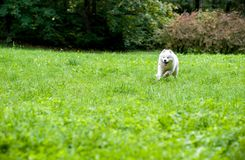 Happy Samoyed Dog Running on the grass. Open Mouth. Happy Samoyed Dog Running on the grass Royalty Free Stock Images