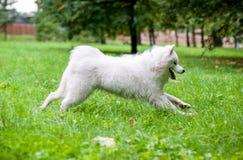Happy Samoyed Dog Running on the grass. Open Mouth. Happy Samoyed Dog Running on the grass Stock Image