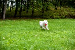 Happy Samoyed Dog Running on the grass. Red Ball in Mouth. Happy Samoyed Dog Running on the grass Royalty Free Stock Photography