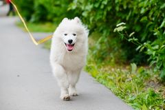 Happy Samoyed dog, white and fluffy out for a walk. Happy dog Samoyed white and furry running around in the street Stock Images