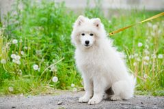 Happy Samoyed dog, white and fluffy out for a walk. Happy dog Samoyed white and furry running around in the street Royalty Free Stock Photos