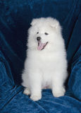Happy Samoyed puppy Stock Photo