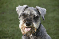 Happy Schnauzer dog. With tongue hanging out Royalty Free Stock Photography