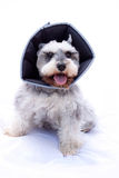 Happy schnauzer dog wearing elizabethan collar Royalty Free Stock Photo