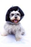 Happy schnauzer dog wearing elizabethan collar. Miniature schnauzer with a cone around her neck Royalty Free Stock Photo