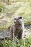 Happy Scottish Fold cat in the yard. royalty free stock photography