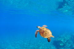 Happy sea turtle royalty free stock photography
