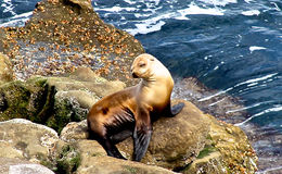 Happy Seal Royalty Free Stock Images