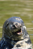Happy seal smiling. Image of a happy seal Stock Photography