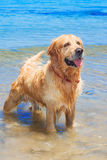 Happy senior golden retriever dog at the beach Royalty Free Stock Images