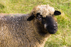 Happy sheep. A horizontal picture of a happy and smiling Romney ewe sheep stock image