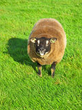 Happy sheep. Funny sheep on fresh grass royalty free stock photo