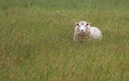 Happy Sheep. Happy woolly New Zealand sheep grazing in nice pastor of long green grass Royalty Free Stock Images