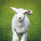Happy Sheep Stock Images