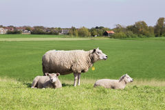 Happy sheep family standing together on a grass field. Mother and her babies relaxing on the field stock photos
