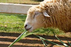 Happy sheep in farm Stock Photos