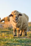 Happy sheep grazing in the field Royalty Free Stock Images