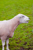 Happy sheep lamb calling her young green grass pasture Stock Image