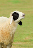 Happy sheep with smile Royalty Free Stock Photography