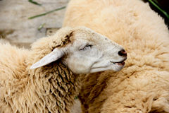 Happy sheep. In suenphung ratcaburi Royalty Free Stock Photos