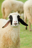 Happy Sheep With Smile Royalty Free Stock Image