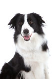 Happy sheepdog Stock Photography