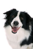 Happy sheepdog royalty free stock photography
