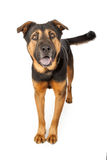 Happy Shepherd Cross Dog Stock Images