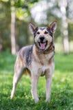 Happy shepherd mix dog posing outdoors royalty free stock photography