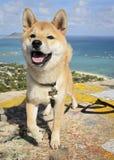 Happy Shiba Inu Stock Photography
