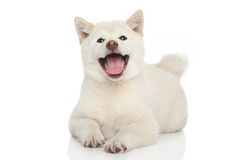 Happy Shiba-inu dog Royalty Free Stock Photo