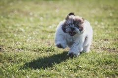 Shitzu puppy running in the park. Happy Shitzu puppy running in the park royalty free stock photography