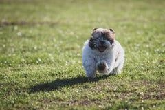 Shitzu puppy running in the park. Happy Shitzu puppy running in the park stock photography