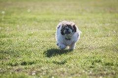 Shitzu puppy running in the park. Happy Shitzu puppy running in the park royalty free stock images