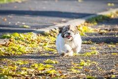 Shitzu puppy running in the park. Happy Shitzu puppy running in the park royalty free stock photos