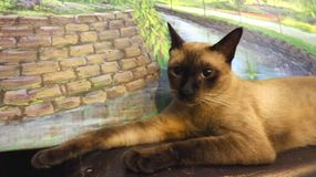Happy Siamese cat with big brown eyes lying infront of garden painting Stock Images