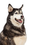 Happy Siberian Husky Closeup Royalty Free Stock Image