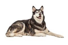 Happy Siberian Husky Laying Stock Photos