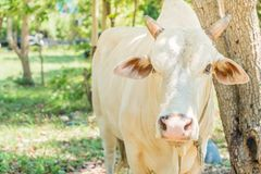 Happy single cow Stock Photography