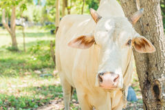 Happy single cow Royalty Free Stock Images