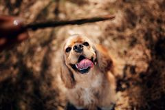 Happy sitting American Cocker Spaniel in summer park stock image