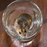 Top view of a wild brown house mouse in a Martini glass. Happy and sitting very content in a Martini or wine glass, a wild house mouse looks up in to the camera Royalty Free Stock Image