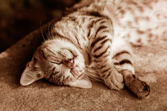 Happy sleeping cat. Portrait of a happy sleeping cat Stock Images