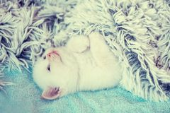 Happy sleeping cute little white kitten. Happy sleeping cute little kitten on a back, covered with a fluffy blanket stock image