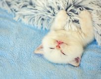 Happy sleeping cute little white kitten royalty free stock images