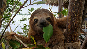 Happy sloth. Baby Brown-throated Three-toed sloth in the mangrove, Caribbean,  Costa Rica Stock Photography