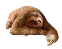 Happy sloth. Resting on a clean white background Stock Image